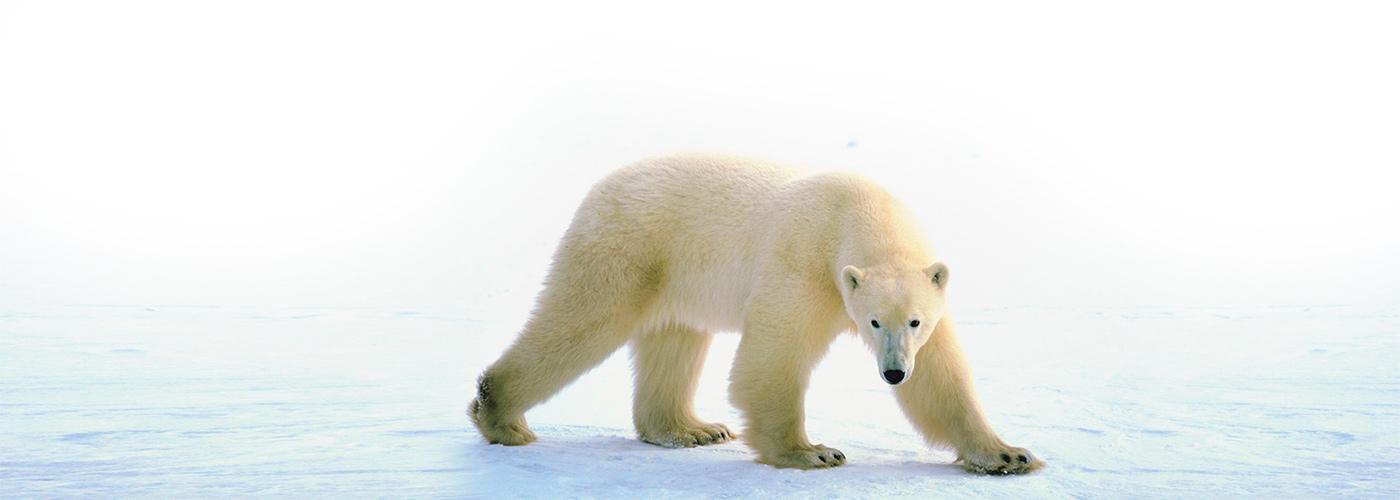 Polar Bear Physiology
