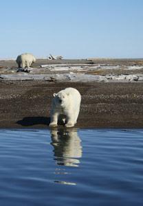 Polar-BearAlaska
