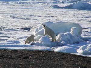 2-Polar-bears