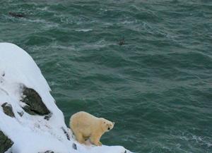 Russia---Chukotka-Polar-Bear
