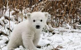 polar-bear-cub1