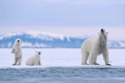 polar-bear-family